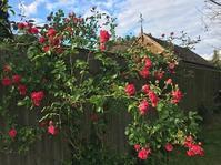 C村の薔薇の木(6月のC村) - 紅茶国C村+E街の日々