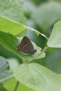 クロミドリ♂の開翅を逃す - 蝶超天国