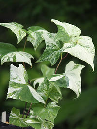 斑入り植物2種 - 花ごよみ~山野草に魅せられて~