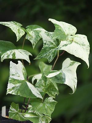 斑入り植物2種 -