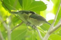 仲良しのヤマガラツインズ - 近隣の野鳥を探して
