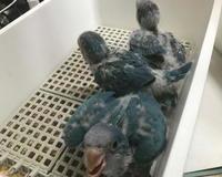 オキナインコブルーの雛たち - お店のインコたち