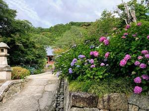 見頃となっております(2019年6月17日現在) - 大和のお地蔵さまの寺 矢田寺