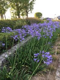 花を見る - アガパンサス日記(ダイアリー)