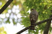 ツミのストレッチ - 野鳥公園
