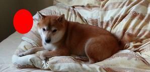 ひろの咳 - 柴犬 ひろゆきと さもない毎日&週末自宅カフェ里音 (りをん) 一之江・笑い療法士のいるカフェ・   趣味好房 織