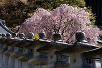 川上村の桜たち② - katsuのヘタッピ風景