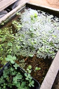 玄関先のビオトープ - 池内建築図案室 通信