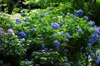北鎌倉明月院紫陽花3 - 生きる。撮る。