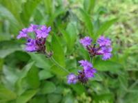 バーベナ - だんご虫の花