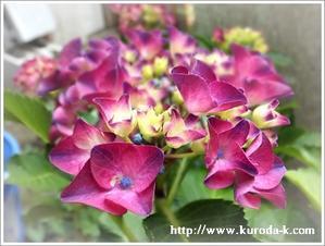 今年も紫陽花が綺麗に咲いてくれました! - 黒田工務店日記