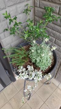 フランネルフラワー再び - うちの庭の備忘録 green's garden
