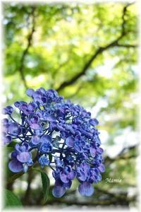 紫陽花と楓 - おだやかに たのしく Que Sera Sera