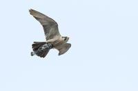 ハヤブサ獲物は カワラバト - 気まぐれ野鳥写真