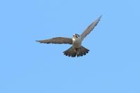 ハヤブサ巣立ちを促すメス - 気まぐれ野鳥写真