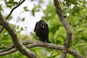 ハシボソガラス幼鳥 その後 - やぁやぁ。