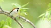 ニュウナイスズメ - 北の野鳥たち