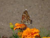 蝶 - ネコと裏山日記