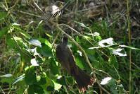桑の実給餌ヒヨドリ親子 - 鳥と共に日々是好日