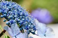 今日は初夏の紫陽花と菖蒲にルバーブパイ - 光さんの日常