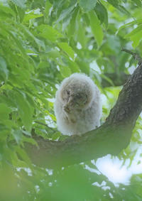 フクロウを撮るⅧ - 野鳥との出会い