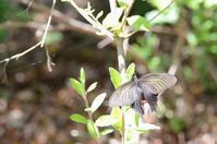 オナガアゲハの休息。 - 堺のチョウ