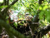 ツミのヒナ大きくなりました・・・八王子 - 浅川野鳥散歩