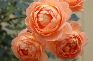 シャーロットの憂鬱 - my small garden~sugar plum~