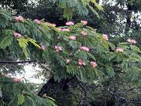 ネムノキの花 - しらこばとWeblog