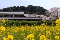 桜咲く奈良2019橘寺の春 - 花景色-K.W.C. PhotoBlog
