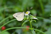 平地のシロチョウ達は、花がお似合い(2019/06/13-16)at various places - 里山便り