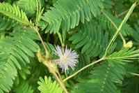 #マメ科『お辞儀草』Mimosa pudica - 自然感察 *nature feeling*