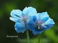 ヒマラヤの青いケシ - こもれびの森