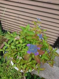 山アジサイの寄せ植え - 猫屋の今日も園芸日和