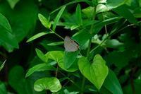 ■オオミドリシジミ ♀19.6.18 - 舞岡公園の自然2