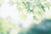 青もみじ - photomo