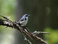 戸隠にコルリの囀りが響きました - コーヒー党の野鳥と自然 パート2