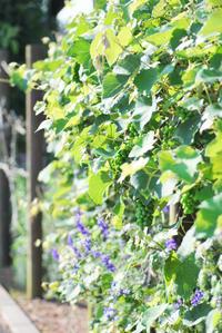 6/20輝く葡萄の葉 - 「あなたに似た花。」