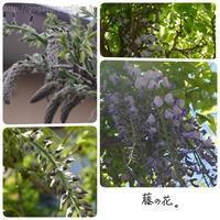 【English】wisteria - ほかの国のコトバ ― 8言語つまみぐい