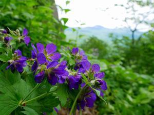 花の定山渓天狗岳、2019.6.18ー速報版ー - デジカメ持って野に山に