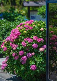 極楽寺の紫陽花 - エーデルワイスPhoto