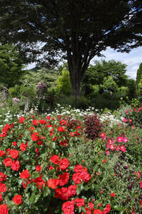 バラ咲き誇る中之条ガーデンズ①シンボルツリーのガーデン#1 - 風の彩り-2