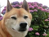 紫陽花とabby、zackの目に映る私 - abby & zack