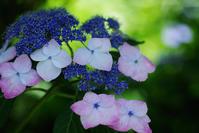 北鎌倉明月院紫陽花4 - 生きる。撮る。