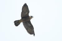 ハヤブサ幼鳥の試練 - 気まぐれ野鳥写真