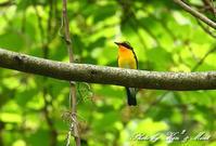 夏鳥さん「キビタキ」さん「オオルリ」さん♪ - ケンケン&ミントの鳥撮りLifeⅡ
