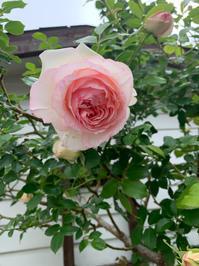 薔薇が咲きました - ☆お肌に優しい 低刺激の白髪染め 大人のためのおしゃれサロン 岩見沢美容室ココノネ太田汐美の パーマネント日記