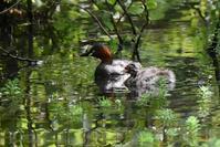 キラキラ池のカイツブリ親子 - 鳥と共に日々是好日
