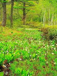 ミズバショウの湿原Ⅳ - 風の香に誘われて 風景のふぉと缶