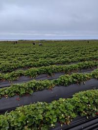 Strawberry picking - ブリアンヌのお散歩日記